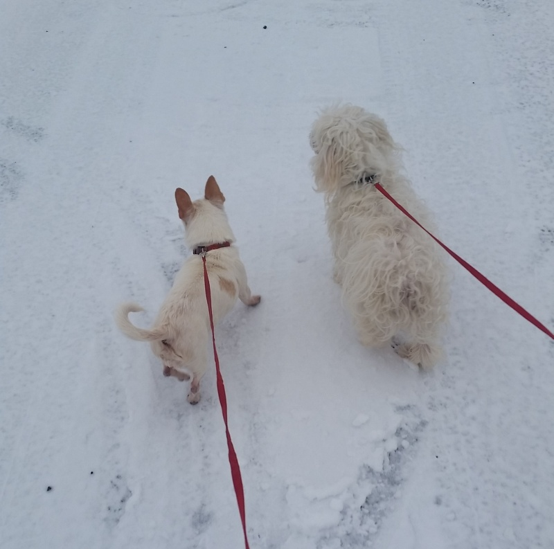 White dogs look yellow in the snow